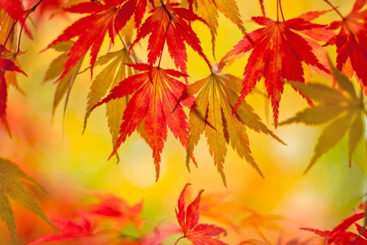 Japanese-maple-leaves-on-bright-backdrop-big-592f59e55f9b58595037cd95